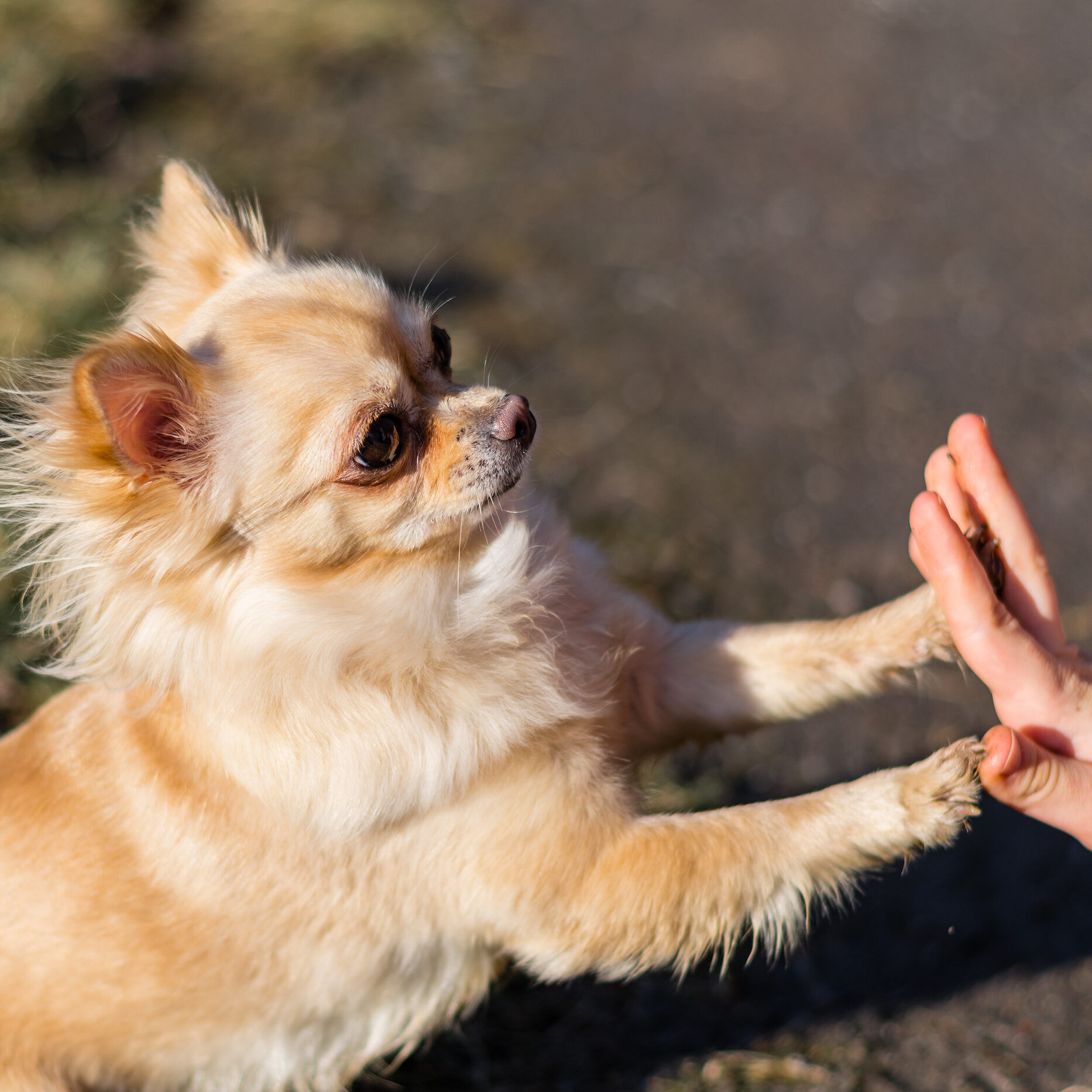 Young gril playing with her dog outside on a field. Dog is very happy. Friendship between human and dog. Dog giving a paw, high five.